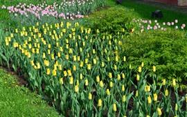Tulips amarelos e cor-de-rosa, flores do jardim