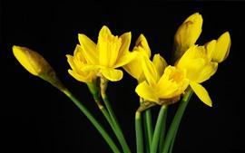 Flores amarelas, daffodils, fundo preto