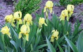 Aperçu fond d'écran Iris jaune