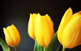 Tulipanes amarillos, fondo gris