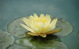 Preview wallpaper Yellow water lily close-up, petals, leaves, pond