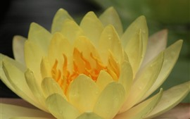 Preview wallpaper Yellow water lily, petals, water droplets