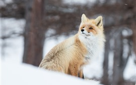 Animal in winter, fox, snow