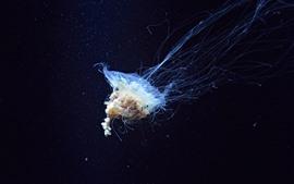 Hermosas medusas, animal de mar, bajo el agua.