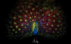 Beautiful peacock, tail, feathers, black background