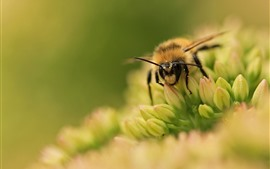 Preview wallpaper Bee and flower, macro photography, hazy background