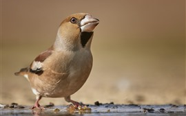 Pássaro, bico, procure