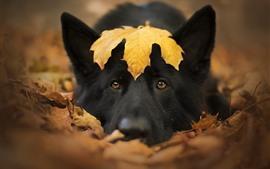 Черная собака, морда, желтый кленовый лист