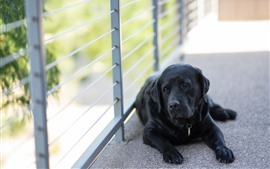 壁紙のプレビュー 黒犬、残り、フェンス