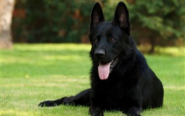 Black dog, rest, grass, face