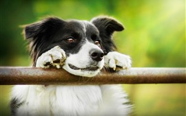 Border collie, fundo verde