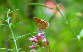 Butterfly, pink flowers, plants, leaves