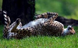 El guepardo descansa sobre la hierba, las patas