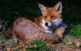 Fox bonito descanso, grama