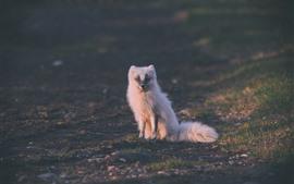 Raposa ártica branco bonito, sente-se no chão