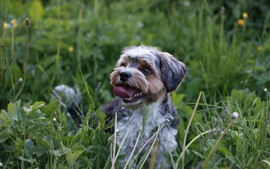 Preview wallpaper Dog, tongue, nature, grass