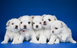 Preview wallpaper Five white puppies, blue background