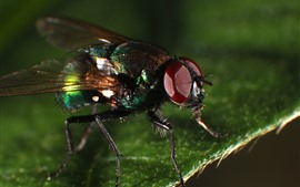 Preview wallpaper Fly macro photography, insect