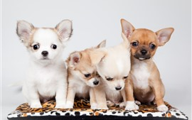 Preview wallpaper Four puppies, Chihuahua dog