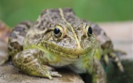 Preview wallpaper Frog front view, eyes, hazy background