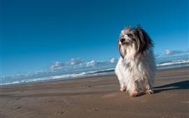 Cachorro peludo, playa, mar
