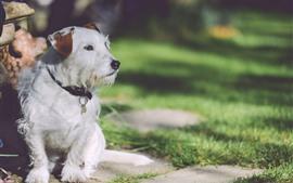 Cão branco peludo, grama
