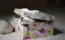 Presente, caixa, filhote de cachorro
