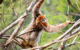 Macaco dourado, árvore, galhos, animais selvagens