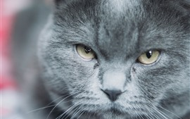 Preview wallpaper Gray cat, face, eyes, look