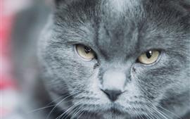 Gray cat, face, eyes, look