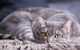 Gato cinzento, olhos amarelos, descanso
