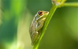 Rana verde, tallo de la planta.