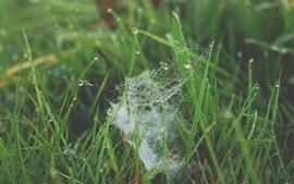 Hierba verde, telaraña, gotas de agua.