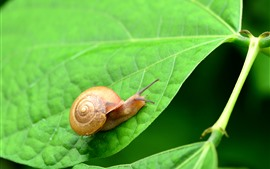 Preview wallpaper Green leaves, snail, insect