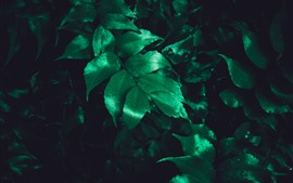 Preview wallpaper Green leaves, water droplets, darkness