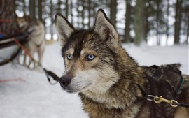 Preview wallpaper Husky dog, face, eyes, winter, snow