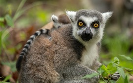 Preview wallpaper Lemur cub, yellow eyes