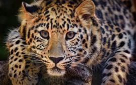 Leopardo, gato selvagem, cara, nebuloso