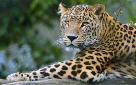 Aperçu fond d'écran Léopard, faune, visage, fond brumeux