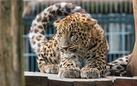 Preview wallpaper Leopard, zoo