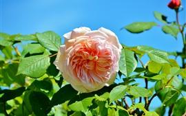 밝은 분홍색 장미, 녹색 잎, 파란색 배경