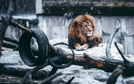 Preview wallpaper Lion, mane, rocks, wheel, zoo