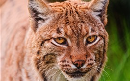 Preview wallpaper Lynx, head, eyes, face, front view