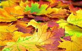 Many maple leaves, autumn