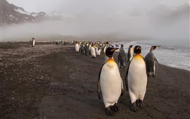 Many penguins, sea, beach, fog