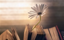 Preview wallpaper One daisy, book, hazy background