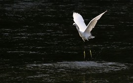 Preview wallpaper One egret walking in the water, open wings
