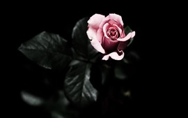 One pink rose, darkness
