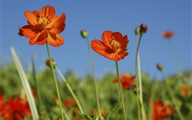 Preview wallpaper Orange cosmos