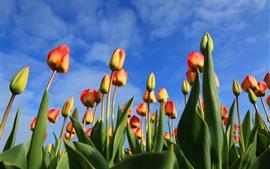 Tulips alaranjados, céu azul